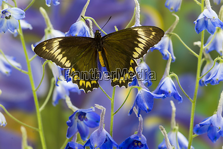 madyes swallowtail butterfly battus mad yes