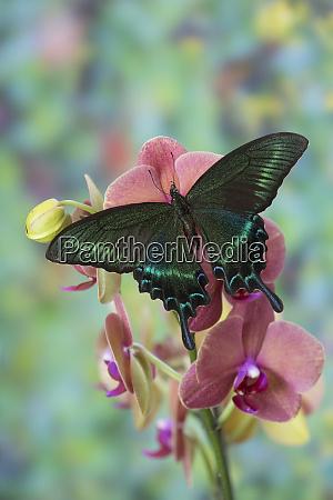 alpine black swallowtail butterfly papilio maackii