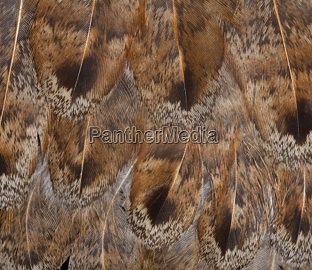 brown feather fanning effect