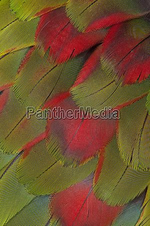 macaw breast feather fan design