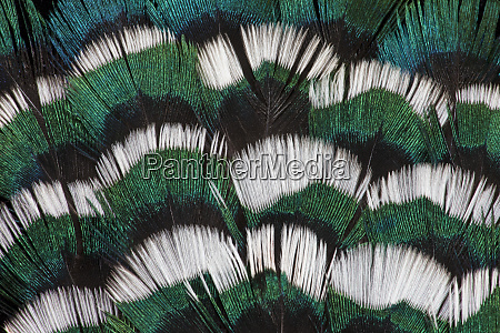 ring necked pheasant neck feathers