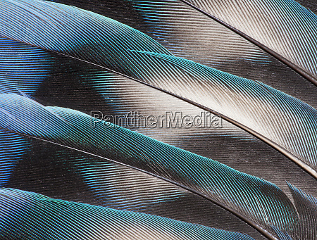 love bird tail feathers fanned out