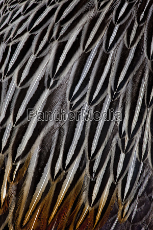 jungle cock feathers