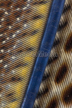 argus pheasant wing feather design with