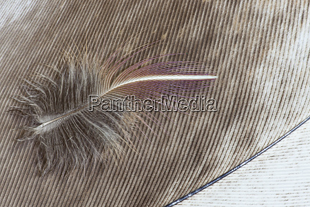 egyptian goose feather and breast feather