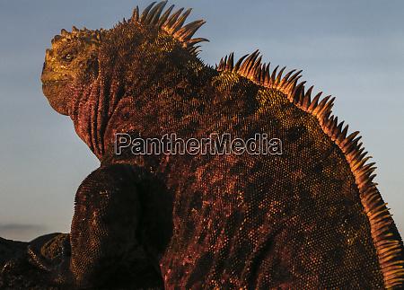 marine iguana basks in the sun