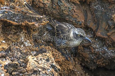 galapagos mockingbird mimus ssp galapagos islands