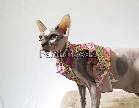 hairless sphinx cat wearing pearls poses