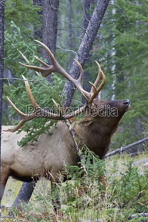 rocky mountain bull elk scenting marking