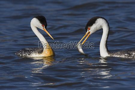 clarks grebe courtship feeding