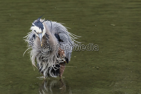 great blue heron shaking it off