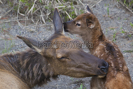 cow elk with new born calf