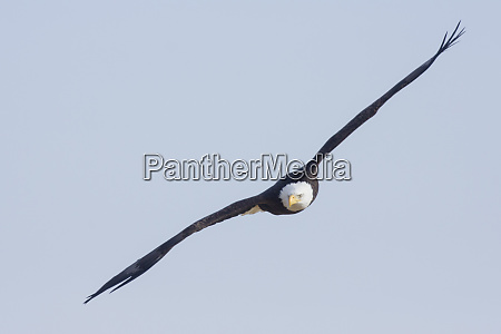 bald eagle foggy wetland marsh
