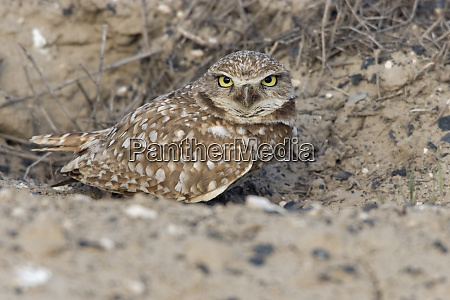 burrowing owls clearing nest entrance