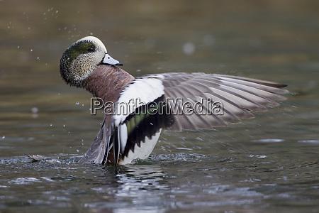 american wigeon bathing