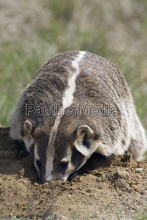american badger digging