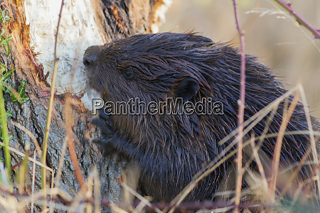 american beaver chewing down tree