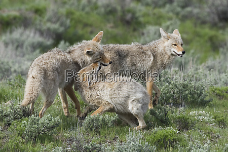 coyotes greeting one another