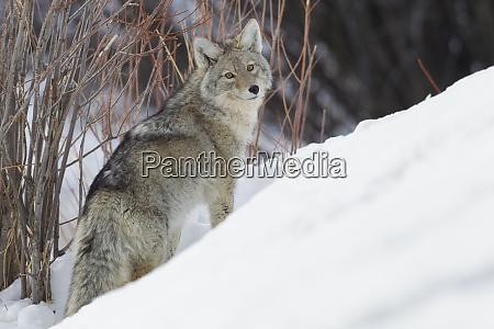 coyote winter survival