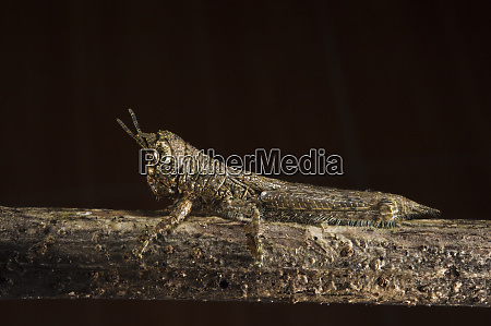 bark mimic grasshopper acrididae yasuni national