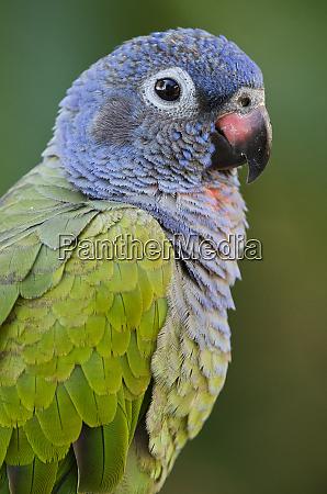 blue headed parrot pionus menstruus captive