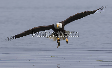 bald eagle with meal