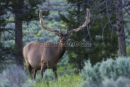 rocky mountain bull elk summer velvet