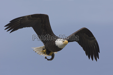 bald eagle returning to perch to