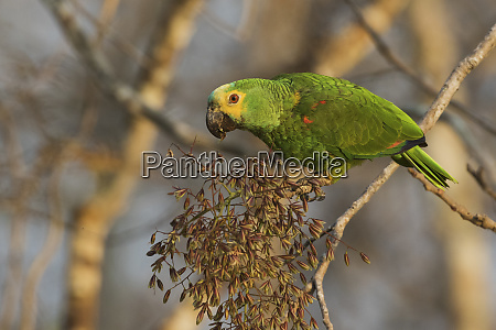 blue fronted parrot eating seeds