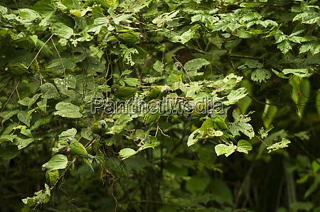 dusky headed parakeet aratinga weddellii at