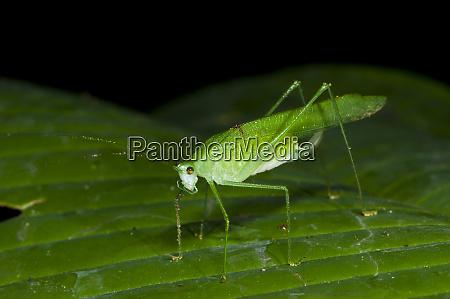 false leaf katydid yasuni national park