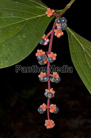 fruit of melastome miconia yasuni national
