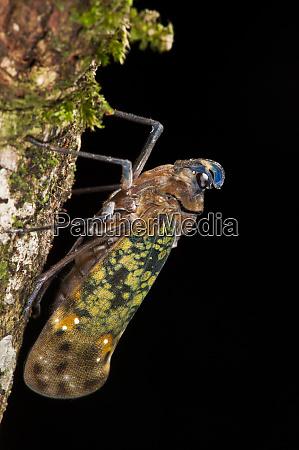 fulgoroid plant hopper flatidae yasuni national