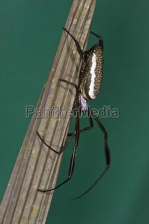 golden silk spider nephila clavipes yasuni