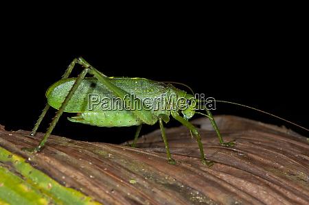 katydid tettigoniidae yasuni national park amazon