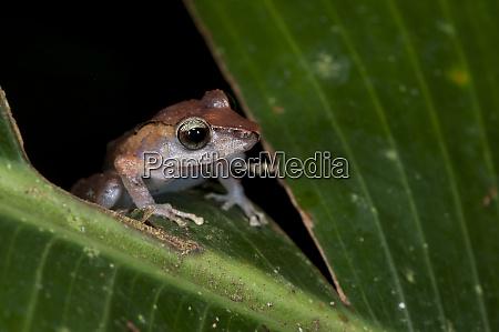 kichwa robber frog pristimantis kichwarum yasuni