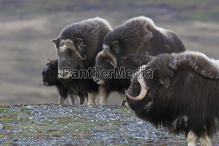 protective musk ox herd with young