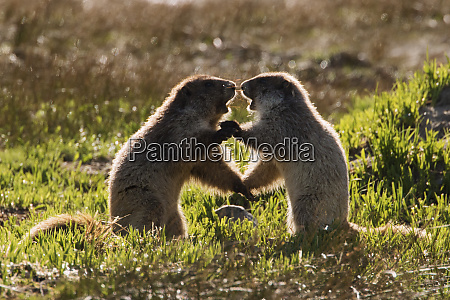 olympic marmots youngsters playing