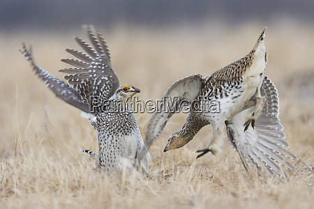 sharp tailed grouse males fighting