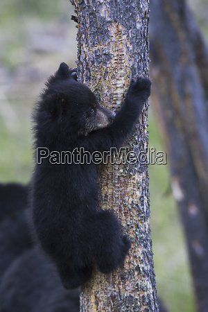 black bear cub climbing to safety