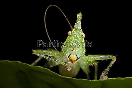 spine headed katydid nymph yasuni national