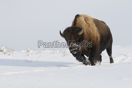 bison bull on the move