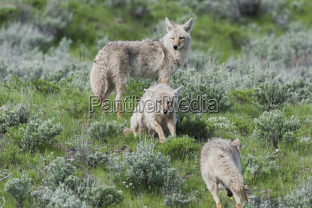 coyote pair approaching pack member