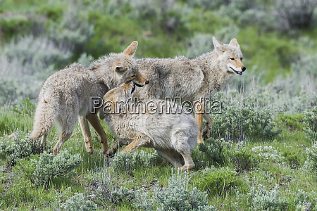coyote family greeting