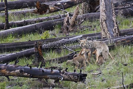 coyote mother nursing pups