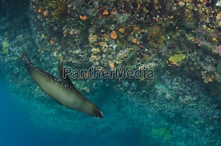 galapagos fur seal arctocephalus galapagoensis galapagos