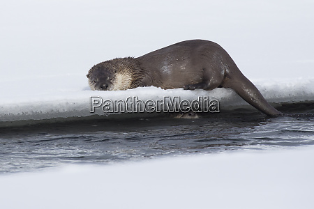 river otters playing hide and seek