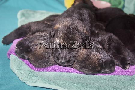 sleeping german shepherd puppies