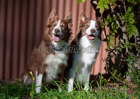 two border collies sitting in front