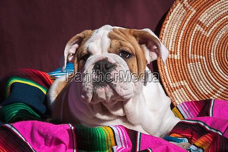 bulldog puppy lying on blanket mr